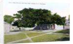 Silk Cotton Tree, Nassau, New Providence, Bahamas by JO Sands