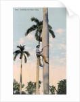 A man climbing a palm tree, Cuba by Anonymous