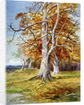 Beech Tree, Autumn by Anonymous