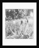 Pineapple fields, Mayaguez, Puerto Rico by Underwood & Underwood