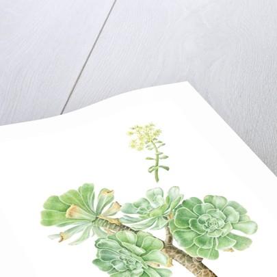Aeonium arboreum (Tree aeonium) by Sara Bedford