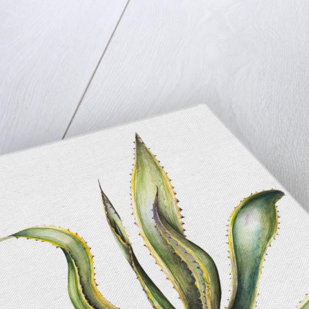 Agave americano variegata (Century plant) by Susan Conroy