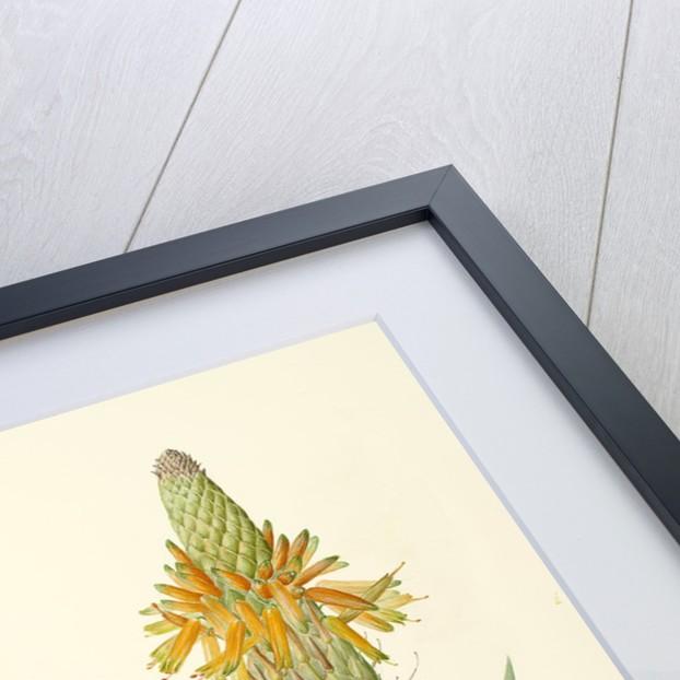 Aloe microstigma (Cape speckled aloe) by Jackie Copeman