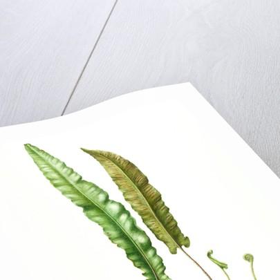 Asplenium scolopendrium (Hart's tongue fern) by Lucinda Grant