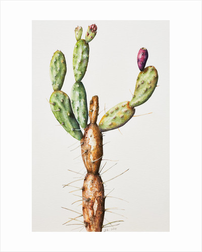 Opuntia elata (Prickly pear) by Susan Conroy