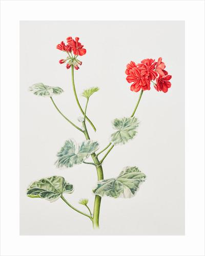Pelargonium x hortorum (Garden geranium) by Sara Bedford