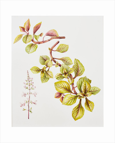 Plectranthus cilliatus 'Easy gold' (Blue spar flower) by Lesley Ann Sandbach