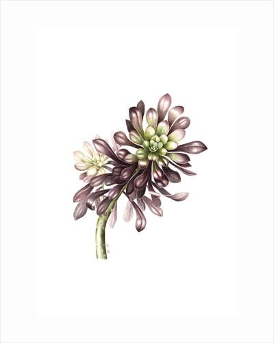 Aeonium arboretum zwarthop (Black tree aeonium) by Lesley Ann Sandbach