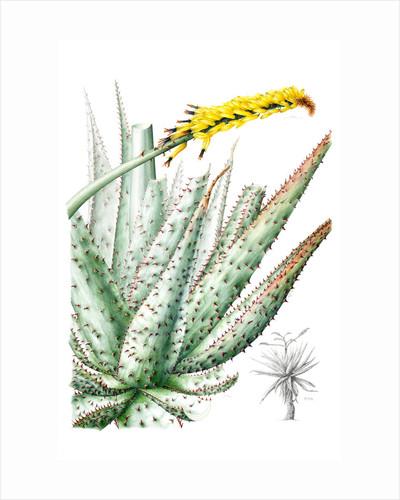 Aloe ferox (Cape aloe, Tree aloe) by Leigh Ann Gale