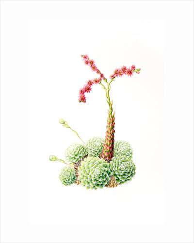 Sempervivum arachoideum (Cobweb houseleek) by Leigh Ann Gale