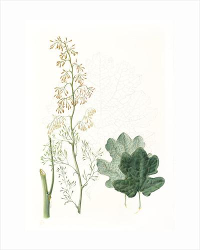 Macleaya microcarpa (Plume poppy) by Helen Allen