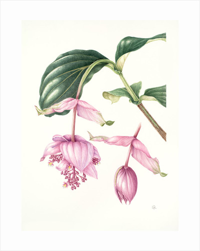 Medinilla magnifica Melastomataceat (Rose grape) by Shirley Richards
