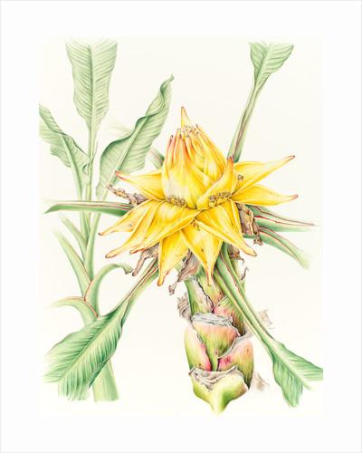 Musella lasiocarpa (Chinese lotus banana) by Anne Patterson