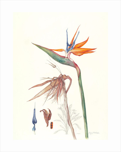 Strelitzia reginae (Bird of paradise flower) by Jenny Malcolm