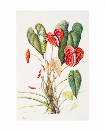 Anthurium andreanum (Flamingo flower) by Susan Conroy