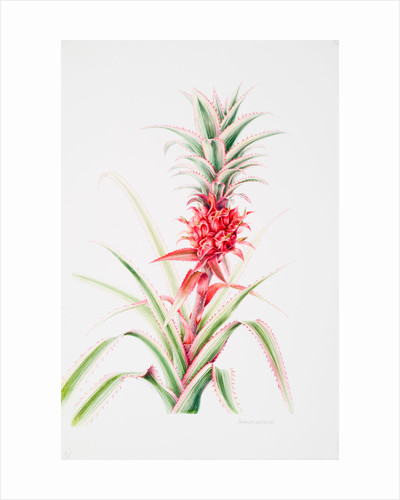 Ananas comosus (Pineapple) by Anne Patterson