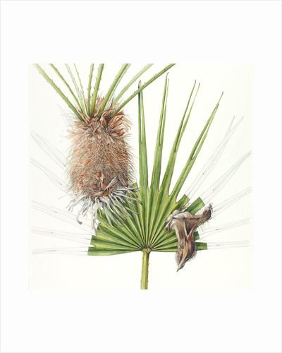 Chamaerops (Fan palm) by Shirley Slocock