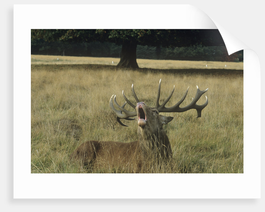 Red deer, Bushy Park by Vivian Russell