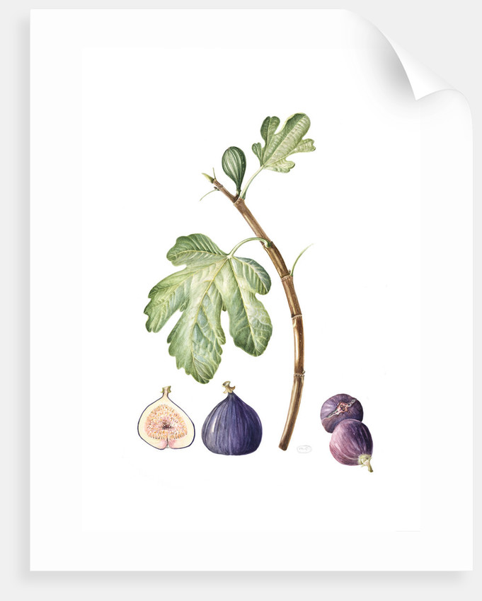 Fiscus carica (Common fig) by Maggie Cartmell