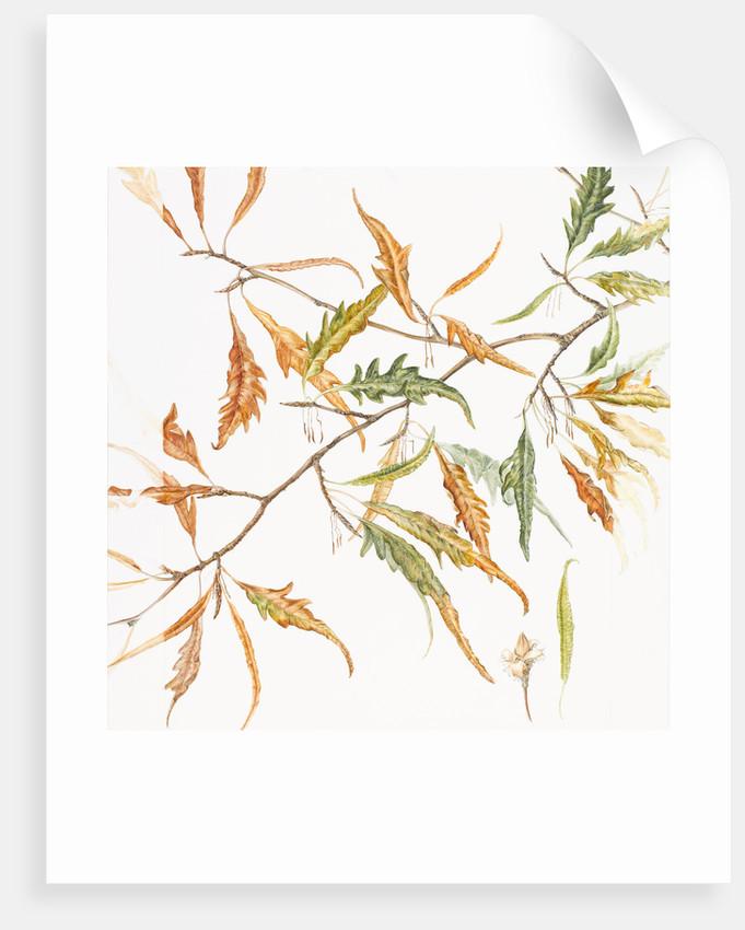 Fagus sylvatica (Fern leaved beech) by Helen Allen