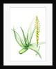 Aloe vera (Medicinal aloe) by Anne Patterson