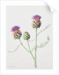 Cynara cardunculus (Globe artichoke thistle) by Jenny Malcolm