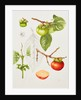 Diospyros kaki (Japanese persimmon) by Shirley Richards