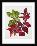 Iresine herbstii (Beefsteak plant/Bloodleaf) by Beth Phillip