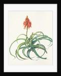Aloe arborescens (Candelabra aloe) by Shirley M Gumpel