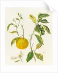 Citrus myrtifolia (Common myrtle) by Sheila Clarke