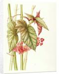Begonia x argenteo-gutata (Trout leaved begonia) by Jackie Copeman
