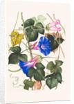Ipomoea indice 'variegatum' (Porter's joy) by Jackie Copeman