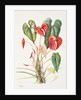 Anthurium andreanum (Flamingo flower) by Susan Conroy