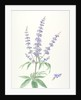 Vitex agnus-castus (Chaste tree) by Sara Bedford