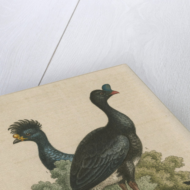 'The Curasso-Bird, and the Cushew-Bird' by George Edwards