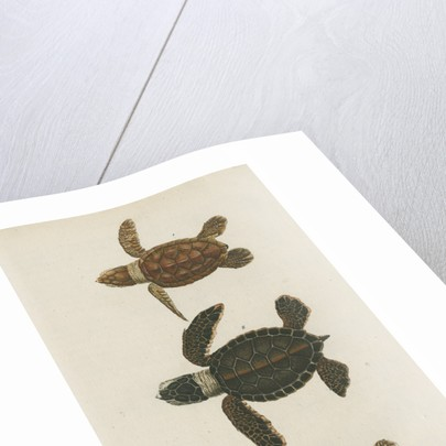 Three specimens of turtles by Friedrich Wilhelm Wunder