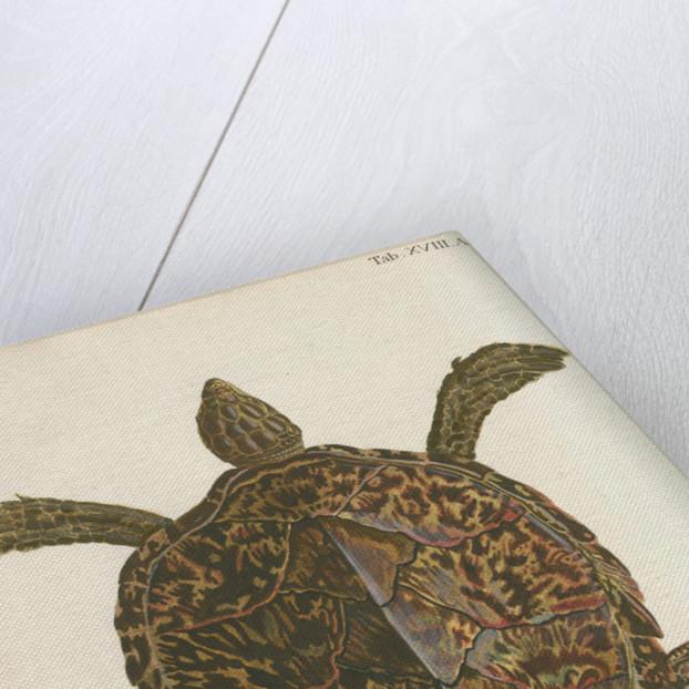 'Testudo imbricata' [Hawksbill turtle] by Friedrich Wilhelm Wunder