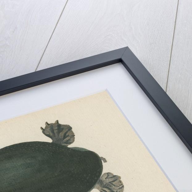 'Testudo ferox' [Florida softshell turtle] by Friedrich Wilhelm Wunder