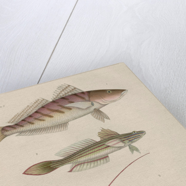 Studies of three fishes from Australia by Anonymous
