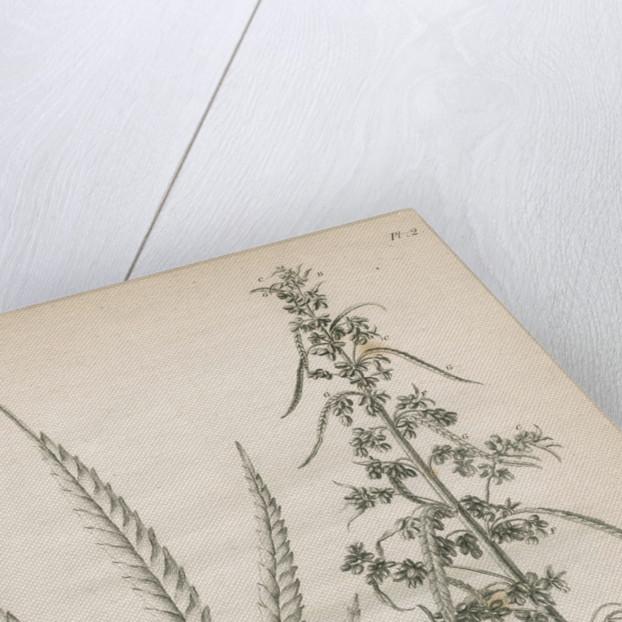 Male hemp plant by Richard Reeve