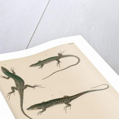 Italian wall lizard by J G Bach