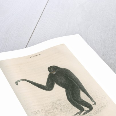 'Hylobates syndactyla' [Siamang gibbon] by William Home Lizars