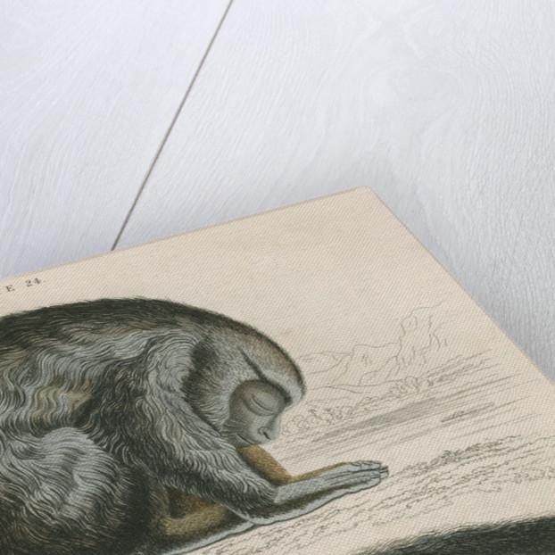 'Aotes trivirgatus' [Three-striped night monkey] by William Home Lizars