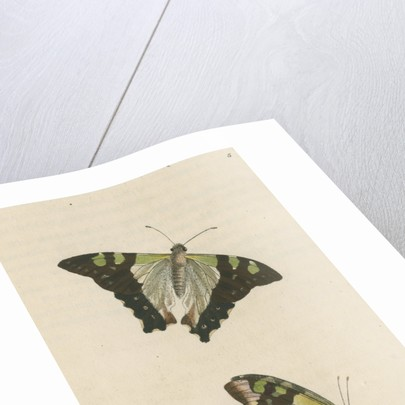 'Macleay's butterfly' [Macleay's swallowtail] by Richard Polydore Nodder