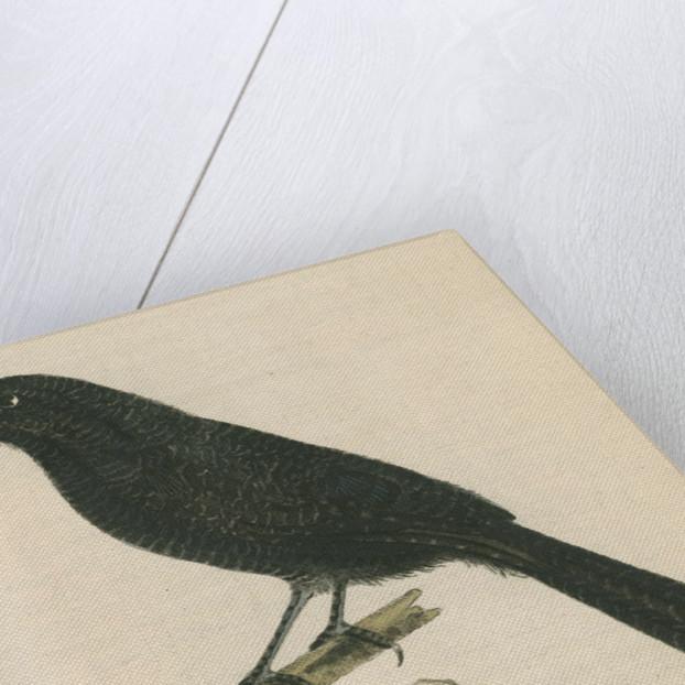 'Lineated shrike' [Fasciated antshrike] by Richard Polydore Nodder