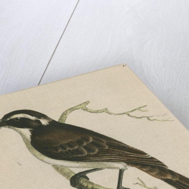 'Dusky shrike' by Richard Polydore Nodder