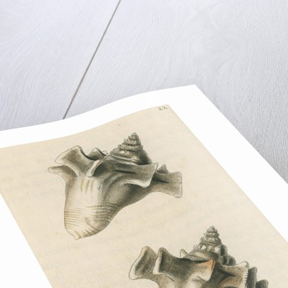 'Sloane's strombus' by Richard Polydore Nodder
