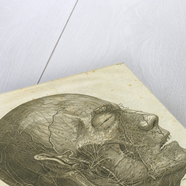 Veins of the human head by unknown