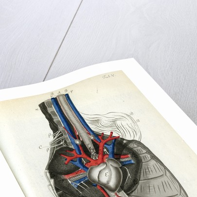 View of the chest cavity by Walwert