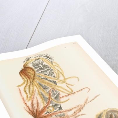 Venus's flower basket and starfish by C L G
